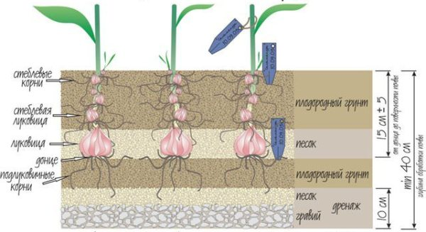Схема посадки лилии Марлен