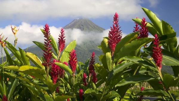 Имбирь растет в тропиках и субтропиках