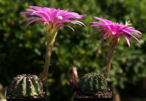 Для регулярного цветения требуется завести кактусу пару