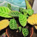Желтеют листья калатеи