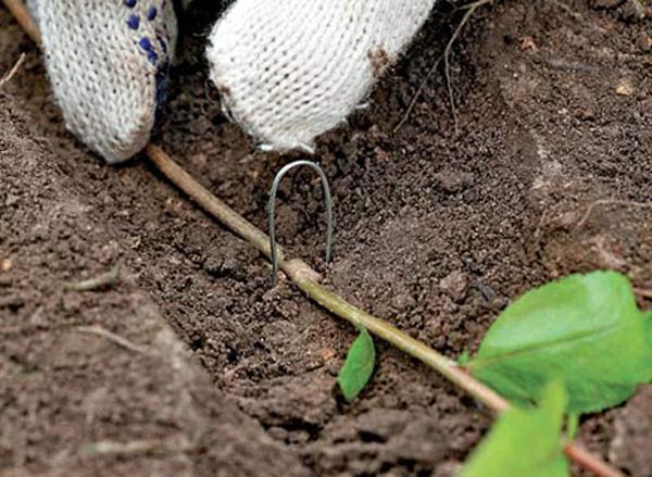 Горизонтальные нижние ветки Кизильника при соприкосновение с землей уже через пару недель могут давать корни