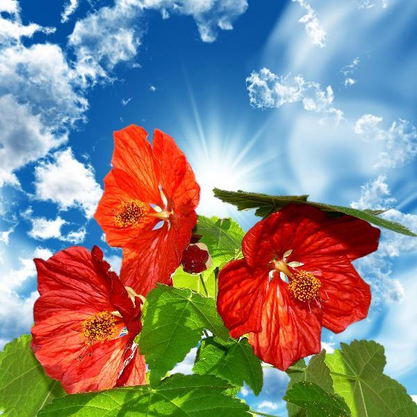 Абутилон цветет только при продолжительном световом дне