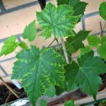 Листья абутилона желтеют из-за недостатка света