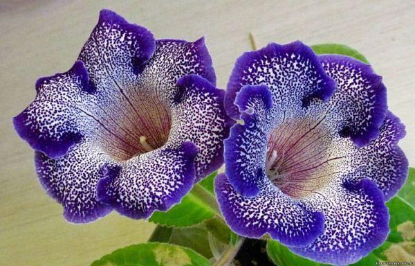 Глоксиния - цветок любви