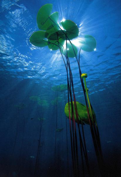 Подводные корни кувшинки