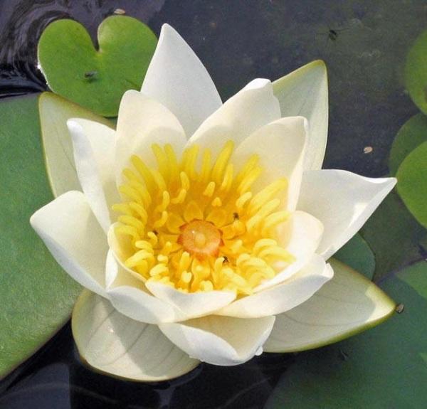 Цветок белоснежной кувшинки