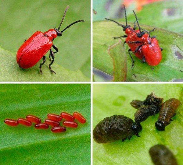 Лилиевые жуки и лечинки