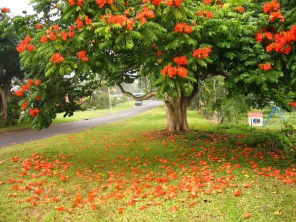 Ствол Тюльпанового дерева мощный, покрыт серой корой, нередко источает терпкий, пряный аромат