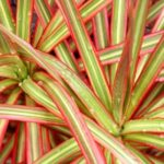 Яркие листья сорта Колорама