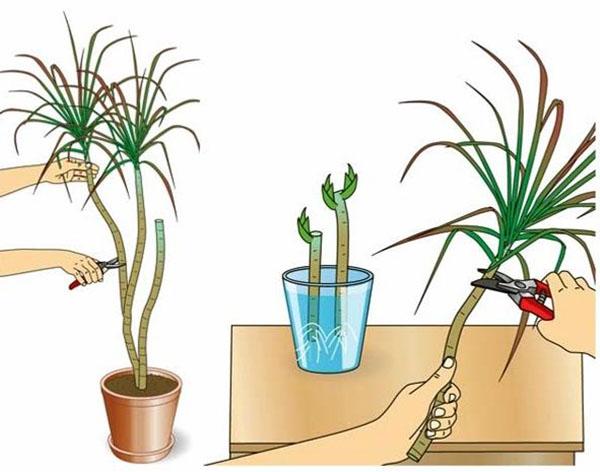 Драцена размножение в домашних условиях размножение черенками