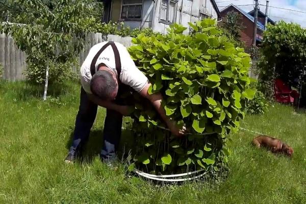 Уход за взрослым растением включает в себя полив, обрезку, подвязку и подкормки
