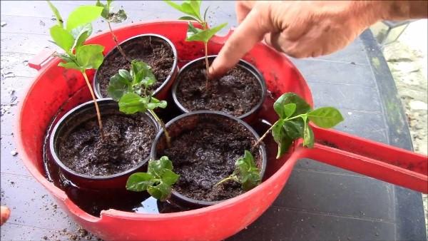 С каждым годом нужно увеличивать размер контейнера для активизации роста Кофейного дерева