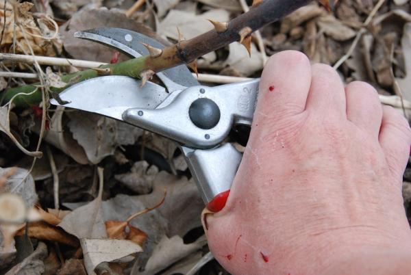 Кардинальная и средняя обрезка вредна шрабам, она может ослабить растение