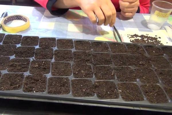 Размножение семенами хорошо подходит для простой садовой гортензии