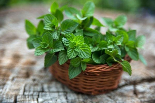 Как вырастить мяту в домашних условиях, посадка растения в открытый грунт, сбор урожая