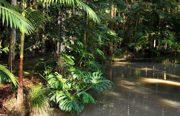 Монстера в естественной среде - в тропиках