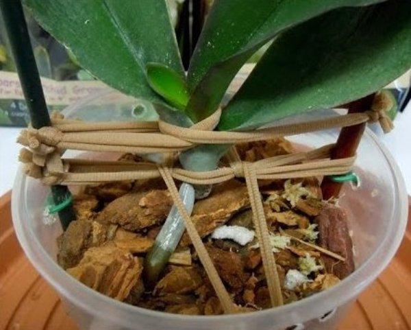 Орхидея в процессе восстановления корней