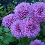 Сиреневые и фиолетовые хризантемы скажут лучшей подруге, насколько она ценна для вас