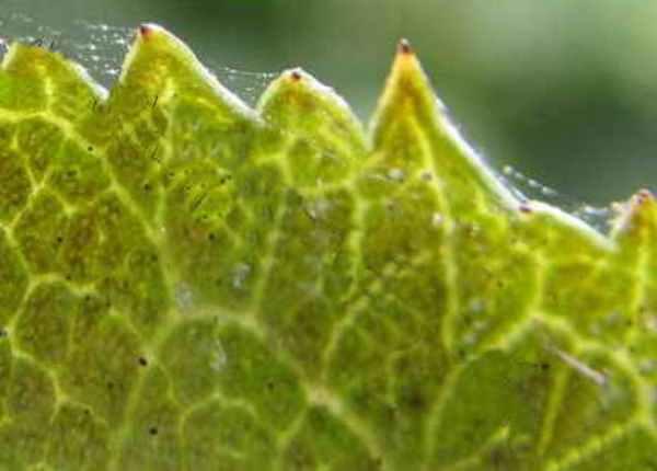 Паутинный клещ поражает многие растения (крыжовник, виноград, спирею, малину)