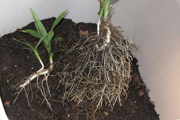 Подготовленная почва для пересадки драцены