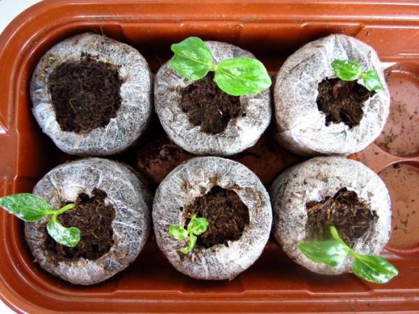 Семена, дающие самую лучшую всхожесть, принадлежат Циссусу Арктическому