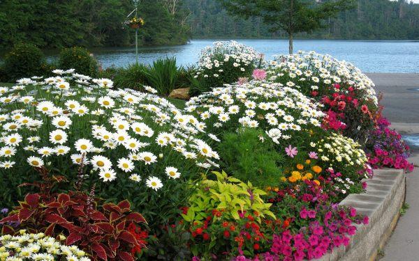 Садовые ромашки украсят любую клумбу