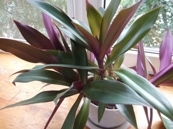 Листья растения используются в народной медицине