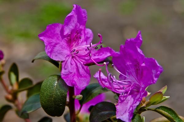 Цветки рододендрона