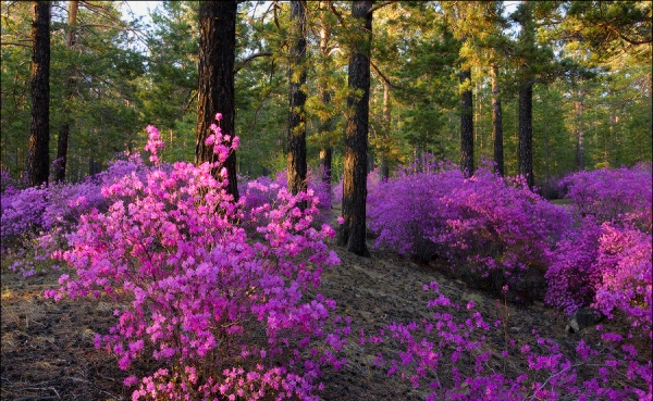 Цветение рододендрона в дикой природе