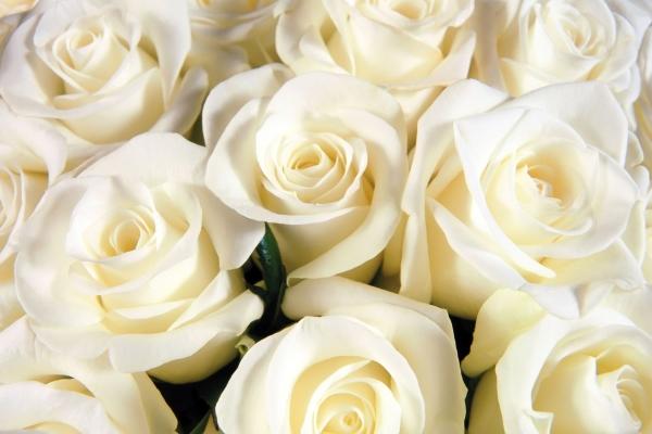 Что означают белые розы, кому и по какому поводу их можно преподнести