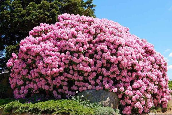 Родина Азалии – предгорья Китая, тенистые леса Японии