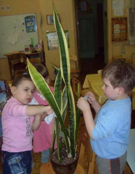 С чисткой листьев сансевиерии справятся даже дети