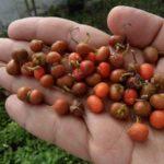 Семена сансавьерии