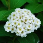 Цветок спиреи березолистной