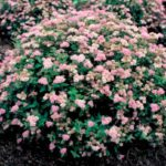 Спирея розовая
