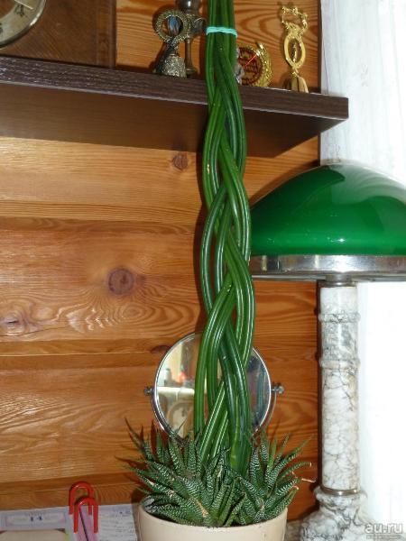 Чтобы листья сансевьеры оставались яркими - организуют дополнительное освещение