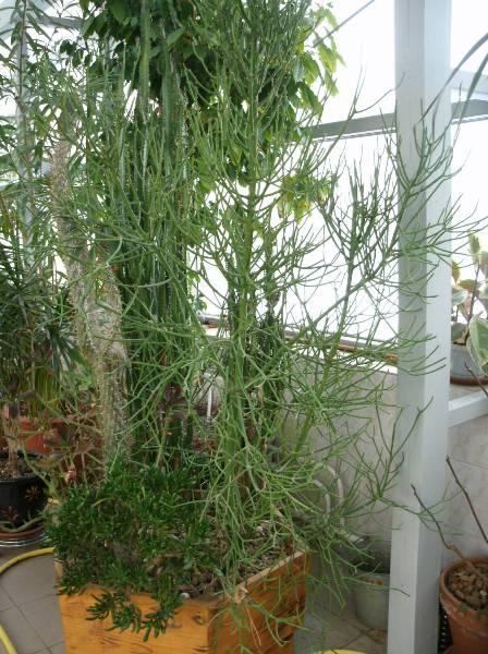 Молочай тирукалли может вырасти до 6 метров