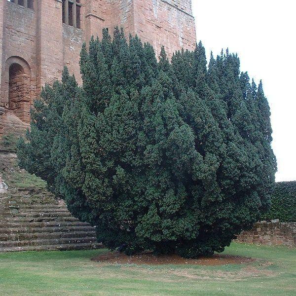 Куст английского тиса около костела