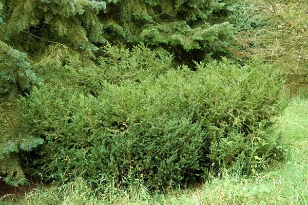 Канадский тис