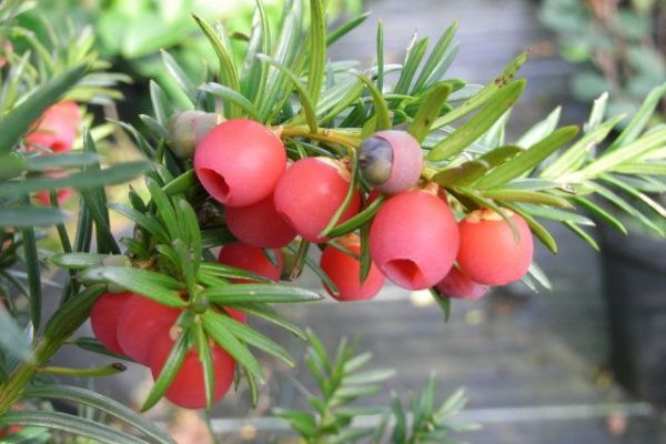 В медицине используют сок ягод тиса для создания лекарств