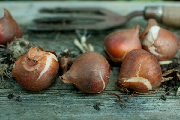 В конце июня — начале июля луковицы выкапывают