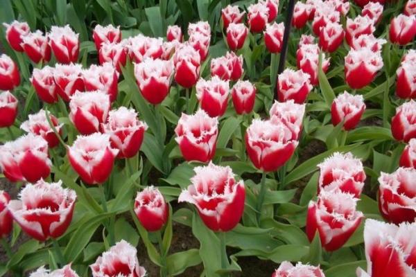 Голландские тюльпаны - эталон высокого качества и красоты