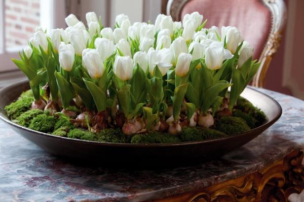 Как вырастить тюльпаны в горшке в домашних условиях