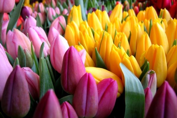 Описание и характеристики цветка тюльпана, выращивание и уход
