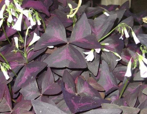 Кислица имеет листья, похожие на крылья бабочки