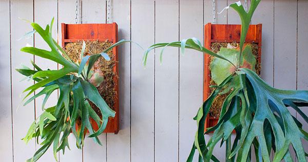 Выращивают платицериумы в подвешенном состоянии или на кусках коры, пнях, в деревянных или пластмассовых корзинках, в горшках