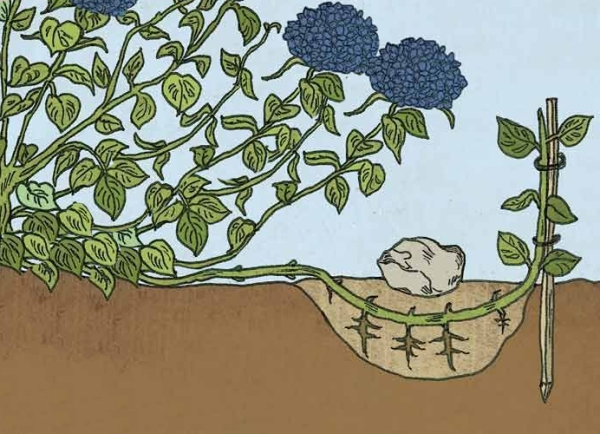 Размножение гортензии отводками стоит начинать с начала весны, пока не распустились почки