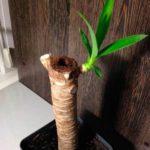 Первые растущие почти юкки после пересадки