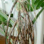 Для дополнительного питания воздушные корни нужно направить в грунт