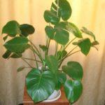 При недостатке влаги листья монстеры растут без разрезов